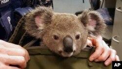 Seekor koala melongokkan kepalanya dari tas yang dibawa oleh seorang polisi Queensland di Brisbane, Australia, 6 November 2016. (Foto: dok).