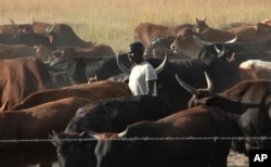 FILE - An unidentified farmer walks among his cattle on land near Harare, Apr. 23, 2013 .
