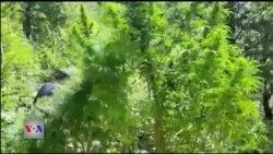 Analistët për luftën ndaj bimëve narkotike