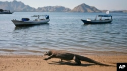 FILE - A Komodo dragon walks on a beach on Komodo island, Indonesia, Thursday, April 30, 2009. (AP Photo/Dita Alangkara)