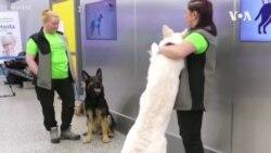 嗅探犬探測新冠病毒潛力可觀