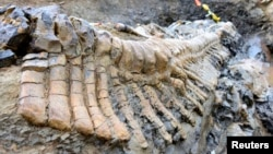 A fossilized tail of a duck-billed dinosaur, or hadrosaur, is seen in the Municipality of General Cepeda, Coahuila in this handout picture by Mexico's National Institute of Anthropology and History (INAH) made available to Reuters on July 22, 2013.