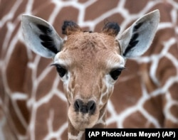 A giraffe baby stands in front of her mother 'Dhakija' at the zoo in Erfurt, Germany, Monday, April 27, 2015.(AP Photo/Jens Meyer)