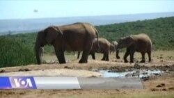 ნიუ-იორკში სპილოს ძვლის ნაკეთოებები გაანადგურეს