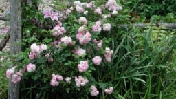 This undated photo shows a Polyantha rose in New Paltz, N.Y. The usual ills, such as blackspot or Japanese beetles, do little damage to Polyantha. The leaves of this rose remain almost as perky green in fall as they were in early summer. (AP Photo/Le