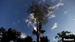 Un hévéa de la forêt amazonienne dans l'état d'Acre, au Brésil, le 24 juin 2016.