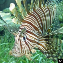 Lionfish pose a serious threat to commercially valuable fish like snapper and grouper.