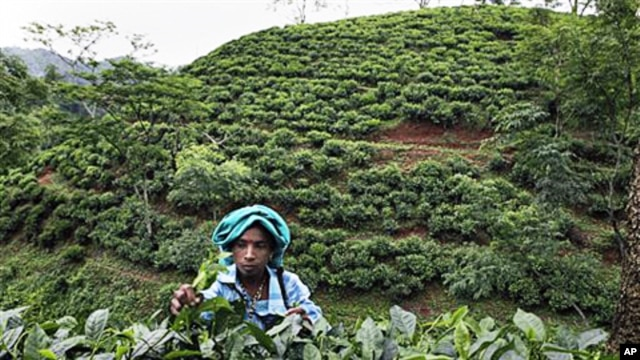 An Indian tea worker plucks tea leaves at the Amchong estate in Digaru district of India's northeastern Assam state (file photo – 27 May 2010)