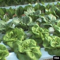 Mary Ellen Taylor menanam selada dan sayuran lainnya tanpa tanah di dalam rumah kaca di ladang keluarganya di Kabupaten Loudon, Virginia.