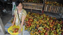 A cocoa farmer and some of her crop in southern Vietnam. (V. Marou)