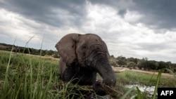 Um elefante tswana, Março de 2015.