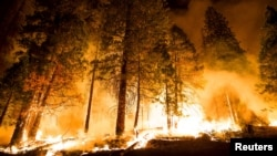 "A controlled burn ignites pine trees on the ""Rough Fire"" — which closed camps east of Fresno at Hume Lake as it crossed Highway 180 — in the Sequoia National Forest in California, Aug. 21, 2015."