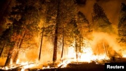 """A controlled burn ignites pine trees on the """"Rough Fire"""" — which closed camps east of Fresno at Hume Lake as it crossed Highway 180 — in the Sequoia National Forest in California, Aug. 21, 2015."""