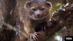 El olinguito, miembro más pequeño de la familia de los mapaches, habita en las selvas de Colombia y Ecuador.