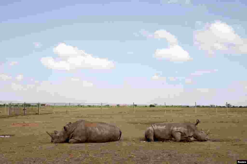 Najin (kiri) dan anaknya Patu, dua ekor badak putih betina terakhir di utara khatulistiwa, istirahat di kandangnya di taman suaka Ol Pejeta, taman nasional Laikipia, Kenya.