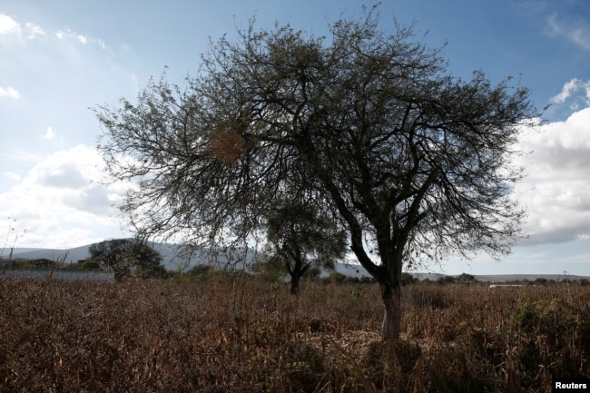 Porfirio Garcia's dry corn field is seen in Tepeteopan, state of Puebla, Mexico January 16, 2020. Picture taken January 16, 2020. REUTERS/Carlos Jasso