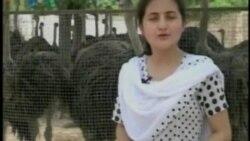 Pakistan Ostrich Farming