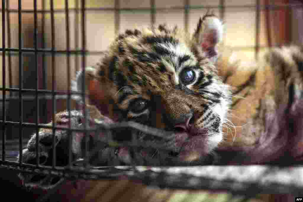 "A newborn bengal tiger cub called ""Covid"" is pictured at the Wildlife Rescue and Rehabilitation Center ""Africa Bio Zoo"" in Cordoba, State of Veracruz, Mexico, April 5, 2020."