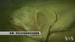 走进美国:快看!存活4亿年的活化石腔棘鱼