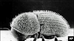 A bacterial gene has found its way into the genetic material, or genome, of an insect called the coffee berry borer.