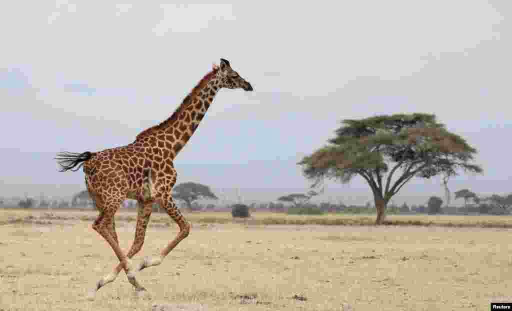 100 Girafas vão sair do Rancho Sango do Save Valley no Zimbabué para o Parque Nacional de Zinave, em Mabote, província de Inhambane