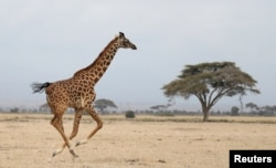 A giraffe runs in Amboseli National park, Kenya August 26, 2016. (REUTERS/Goran Tomasevic)