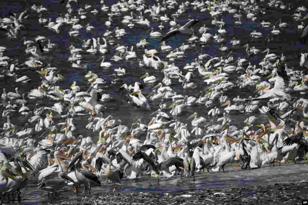 Great White Pelicans eat fish in the Mishmar HaSharon reservoir, Israel.