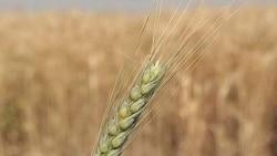 گندم آلوده به ایران وارد می شود؟