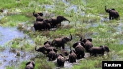 FILE - Mozambican elephants feed amongst the floodwaters of the central districts of Chipanga, Feb. 2001.