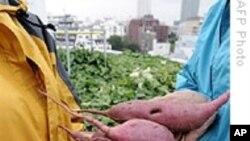 มันเทศสีส้มอาจช่วยแก้ปัญหาขาดวิตามินเอในประเทศกำลังพัฒนา