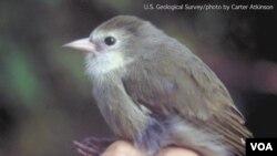 夏威夷瀕危鳥類考島懸木雀(Akikiki)。