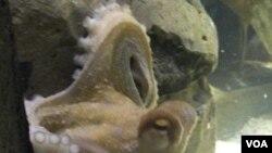 "Paul ""the Psychic Octopus"", di aquarium Oberhausen, Jerman."