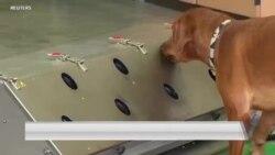 军犬通过训练可以帮助识别新冠病毒感染者吗?