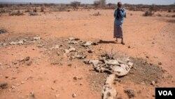 Un homme regarde la carcasse d'un de ses chameaux morts à cause de la sécheresse, en Somalie, le 9 février 2017.