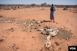 Mohamed Aden Guleid looks at one of his camels on which succumbed to drought in Somaliland region of Somalia, Feb. 9, 2017. (VOA/Jason Patinkin)