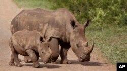 Seekor induk badak dan anaknya di suaka margasatwa Hluhluwe-Imfolozi di Afrika Selatan (foto: ilustrasi).