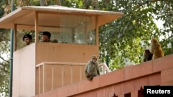 Monkeys sit atop a wall next to a security personnel keeping guard, at India's Parliament premises in New Delhi, India, November 15, 2018. Picture taken November 15, 2018. (REUTERS/Anushree Fadnavis)