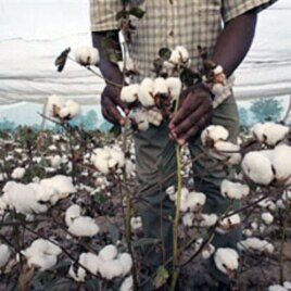 A Burkinabe farming technician of the National environment and research Institute inspects transgenic cotton in a single field in Fada Ngourma, eastern Burkina Faso (File)