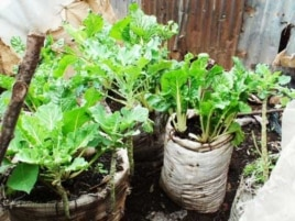 Kibera's farmers grow food using an agricultural method known as 'vertical farming,' which is designed to be used on land where space is very limited