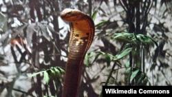 Hổ mang chúa là loài rắn độc lớn nhất thế giới.