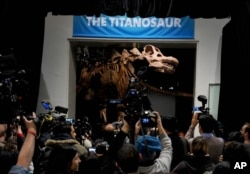FILE - The American Museum of Natural History unveils an exhibit of a 122-foot-long dinosaur which belongs to a group known as titanosaurs, Jan. 14, 2016.