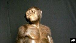 Cette photo datant du 14 août 2007 montre un modèle en trois dimensions de ce que pouvait ressembler Lucy, qui appartient à l'espèce Australopithecus afarensis, exposé au Musée des sciences naturelles de Houston.