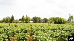Zimbabweans labor in a field on a South African farm … The collapse of agriculture in Zimbabwe has resulted in an influx of skilled farm workers to South Africa