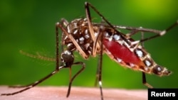 FILE - A photo provided by the Centers for Disease Control and Prevention shows a female Aedes aegypti mosquito acquiring a blood meal from a human host.
