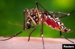 A photo provided by the Centers for Disease Control and Prevention shows a female Aedes aegypti mosquito acquiring a blood meal from a human host. (Reuters)
