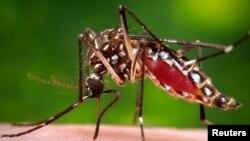Mosquito Aedes aegypti transmissor do vírus zika