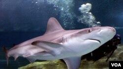 Ninguna de las muertes provocadas por tiburones ocurrió en aguas de EE.UU.
