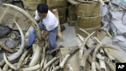 Gading-gading gajah Afrika yang banyak diperdagangkan secara gelap (Foto:dok)