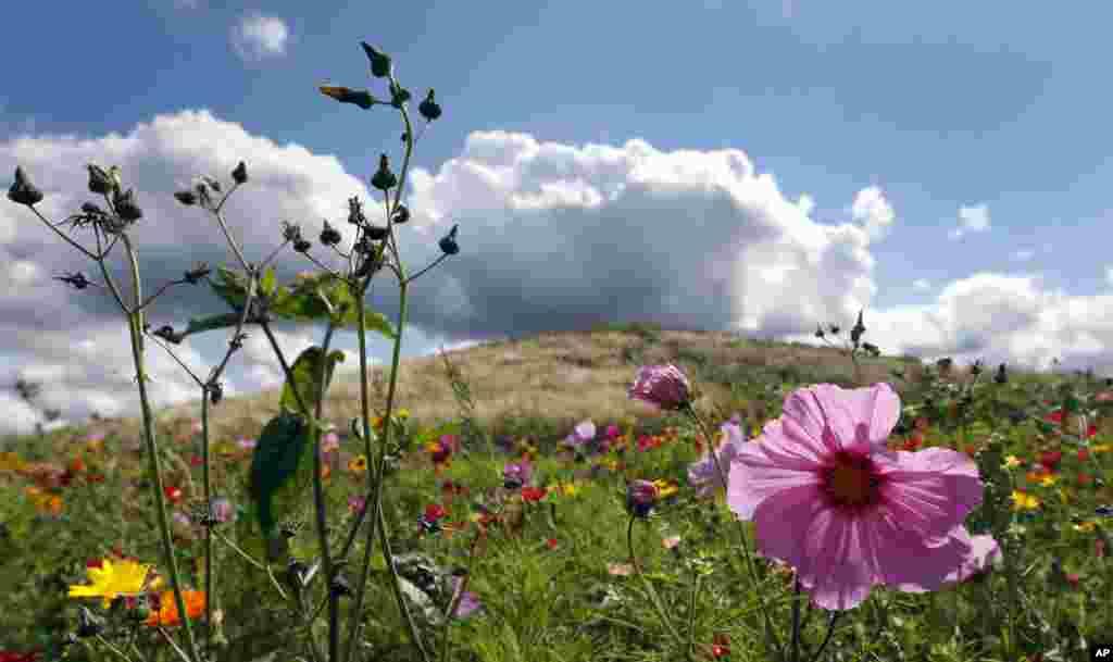 آسمان آبی، شکوفه های گل در مزرعه ای در لندن