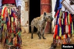 Seekor hyena dirantai pawangnya di sebuah sirkus di Gabasawa, Negara Bagian Kano, Nigeria, 27 Juli 2021.